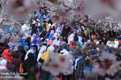 جشنواره گل بادام در دایکندی